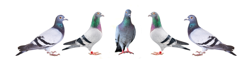 Carrier Pigeons Champions